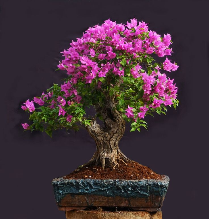 Amazing Rare Tree Bougainvillea   Everblooming   Out/Patio/Bonsai   Pot