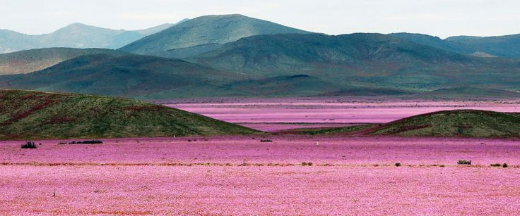 PHOTO: A general view over a mallow field in the Atacama region north of Santiago de Chile, Oct. 21, 2015.