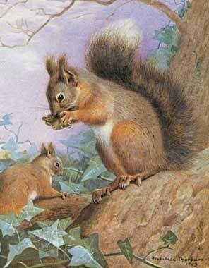 Archibald Thorburn (Escocia, 1860-1935). Common Squirrel.