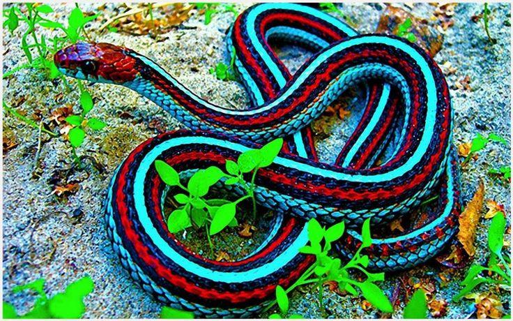 Blue Snake Red Snake Wallpaper   blue snake red snake wallpaper 1080p, blue snake red snake wallpaper desktop, blue snake red snake wallpaper hd, blue snake red snake wallpaper iphone