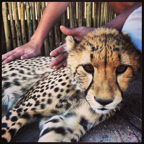 Visit the Cheetah Outreach and spend time with the world's fastest land animal. You'll also encounter Cheetah cubs, Bat-eared foxes and Meerkats! #Family #CapeTown