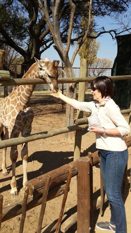 Feeding of Giraffe at #lionpark just an hour from johannesburg