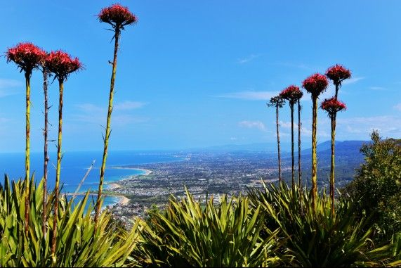 Gymea Lily's at Sublime Point lookout, Bulli Tops NSW -