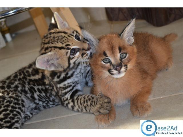 Ocelot Cats as Pets | ... Savannah , ocelot kitten, serval kitten and margay kittens for sale