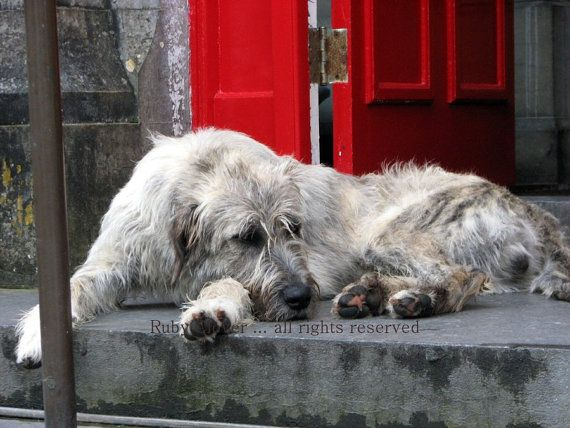 Irish Wolfhound and Red Door at Ballyseede Castle in Tralee , Co. Kerry , Ireland 8x10 on Etsy, $20.00