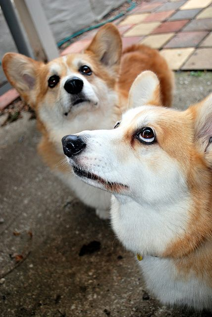 PLEEESE? Bart & Petra, two Pembroke Welsh Corgis | Flickr - Photo Sharing! by KathyReid