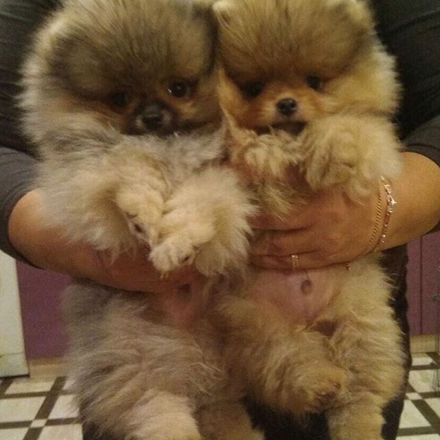 pomeranian puppies for sale colorado best 25 pomeranians ideas on pinterest pomeranian puppy 3750