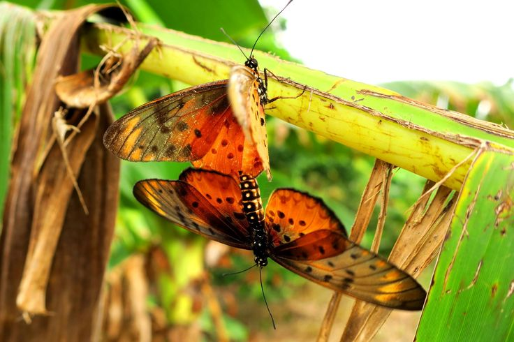 Schmetterling bei der Paarung, Acraea leucographa - Elfenbeinküste