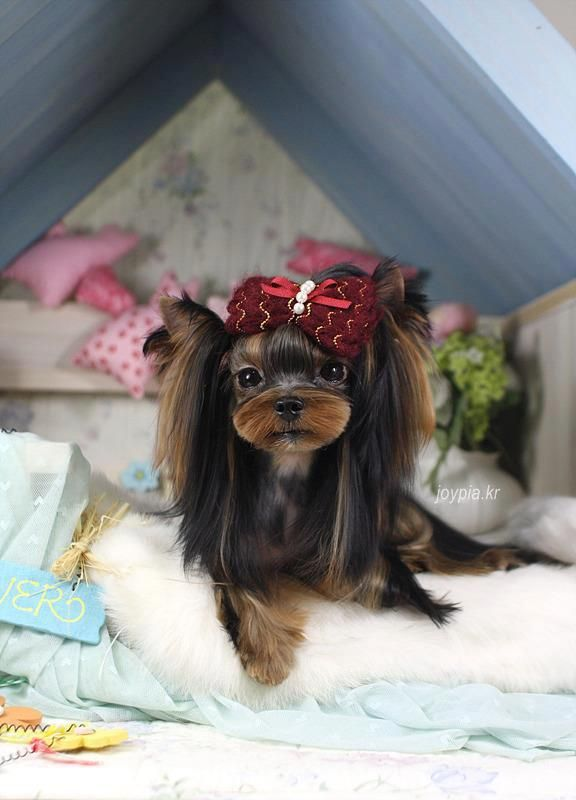 best 25 yorkshire terrier haircut ideas only on pinterest