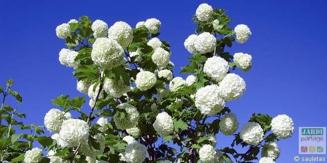 """La viorne obier est un très bel arbuste qui produit en mai de superbes boules de fleurs qui lui valent le surnom de """"boules de neige"""". L'arbuste ressemble alors à un hortensia. L'accueillir au jardin, c'est aussi faire un geste en faveur de la biodiversité car les oiseaux adorent les petits fruits rouges que produisent certaines variétés de viornes :) http://www.jardipartage.fr/viorne-obier/"""