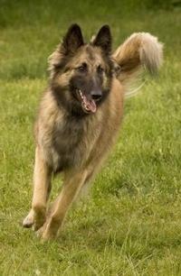 Ovejero Belga Tervueren - Belgian Shepherd Dog - Chien de Berger Tervueren. A su aptitud innata de guardián de rebaño se suman las inigualables cualidades del mejor perro guardián de la propiedad; si es necesario, se convierte, sin dudarlo un momento, en un tenaz y ardiente defensor de su amo.