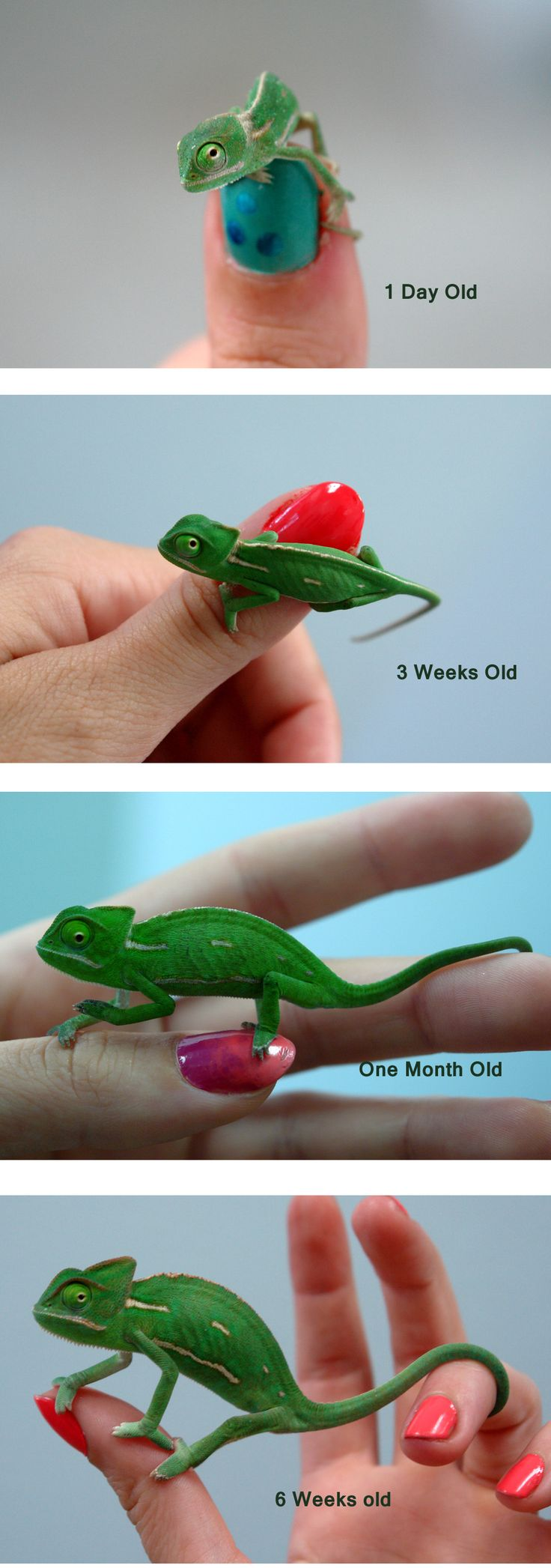 25 amazing chameleon pictures - Baby Veiled Chameleon S Growth Over 6 Weeks Ask Us About How We Set Up Our