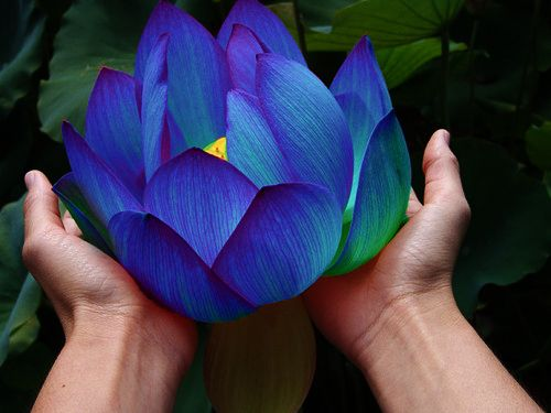 blue lotus photography art flower flowers nature plants visual lotus plant visual art plant blog