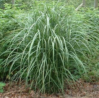 Miscanthus: Creek Gardens Height, Gardens Height 6 7, Gardens Landscape, Gardens Outdoor Living, Maiden Grass, Gardens Spaces, Fountain Grass, Gardenoutdoor Living, Beaches Gardens