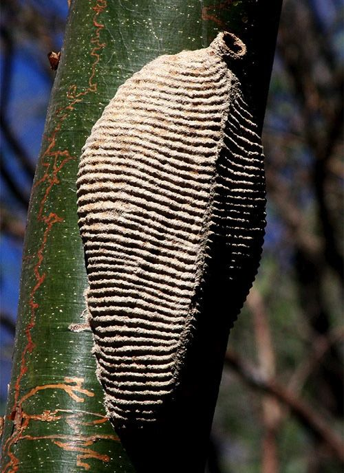 communal insect nest, likely from a species of Polistes wasp. This structure, made from chewed wood formed into paper, was very pleasing to the eye.