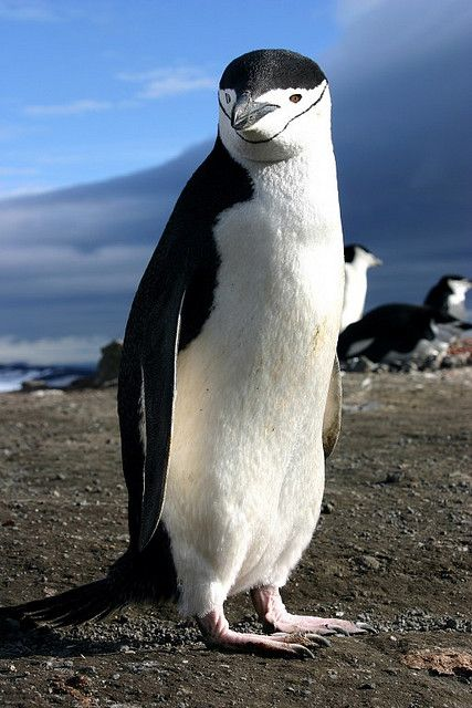 ...a Chinstrap Penguin - nobody can resist the happiness of that ridiculously cute face!