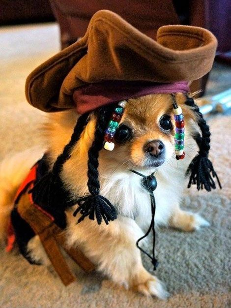 Dog in Jack Sparrow costume, cute chihuahua