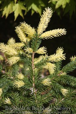 Kigi Nursery - Picea abies ' Perry's Gold ' Golden Dwarf Norway Spruce, $20.00 (http://www.kiginursery.com/spruces/copy-of-picea-abies-hildburghausen-dwarf-norway-spruce/)