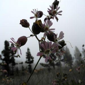 Taubenkropf-Lichtnelke Blüte weiß Silene  vulgaris