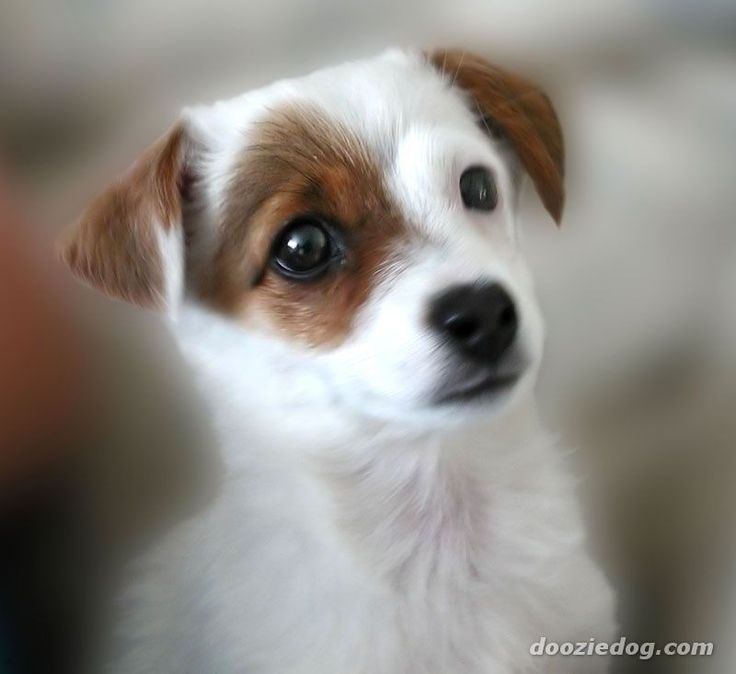 Jack Russell Off Breeds