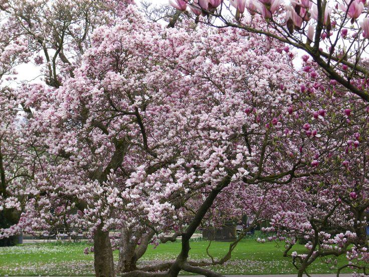 Superb Magnolienbl te in der Wilhelma