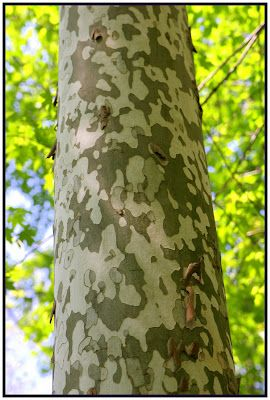 Sycamore tree ..the most amazing bark patterns and a good source of pollen for bees. Win-win! :0)