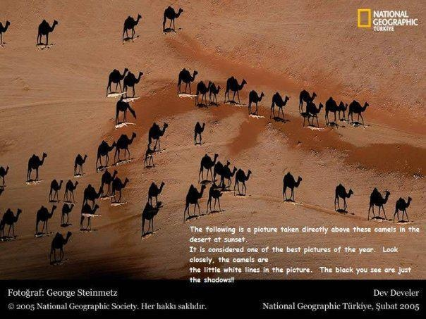 Camel Shadows  Found on the net someplace: Picture, Desert, National Geographic, Camels, Shadows, Photography, Animal