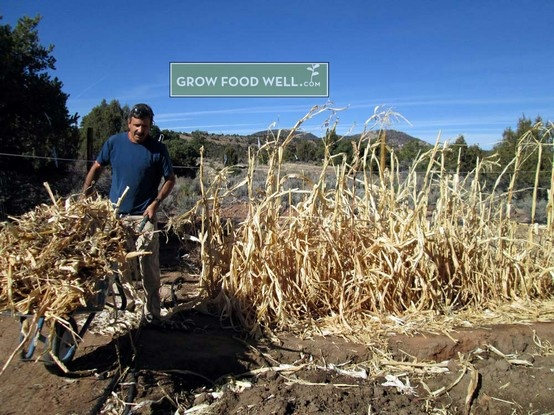 Corn husks and stalks make amazing compost material part for Closed loop gardening
