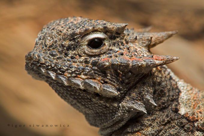 Desert horned lizard aka Horned Toad (Phrynosoma platyrhinos).