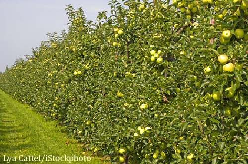 Row Of Apple Trees Forming A Privacy Hedge Outside