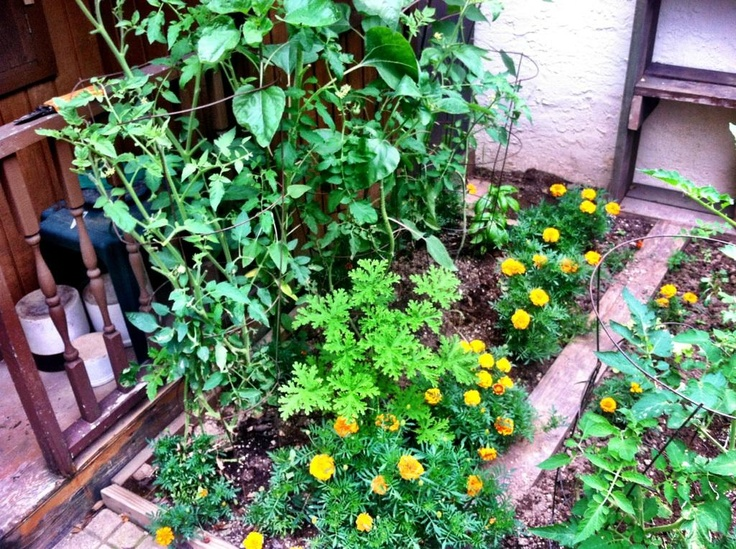 how to keep rats away from tomato plants