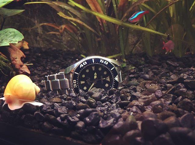 My Diver Watch...dives In my aquarium :) #seikowatch #seikowatches #seikosumo #sbdc003 #seikoblumo #seikoautomatic #diverswatch #diverswatches  #seicoscuba #aquarium #paracheirodon #paracheirodonaxelrodi #neonfish #ampularia
