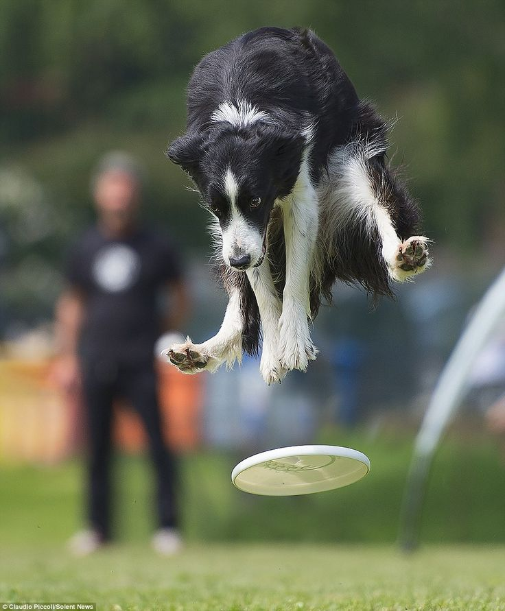 Claudio Piccoli, 44, threw his frisbees from more than 65ft away from the dogs who jumped up to 6 foot six inches into the air