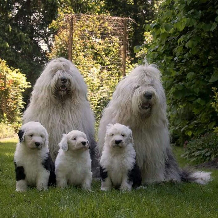 old english sheepdog family