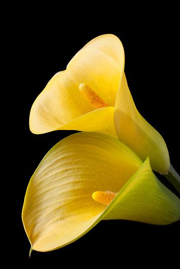 #Flowers | #flower | #Yellow Calla Lilies