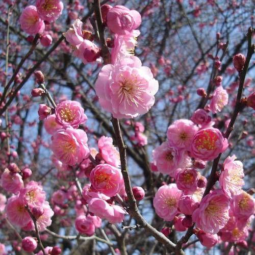 Abricotier japonais