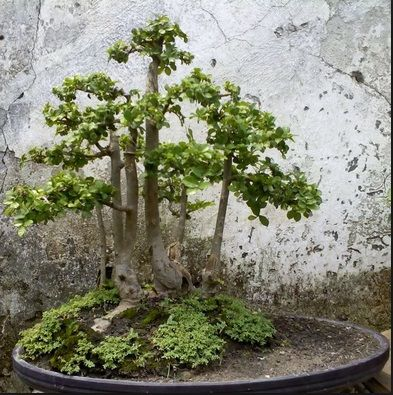 bonsai serut pagar terbaik