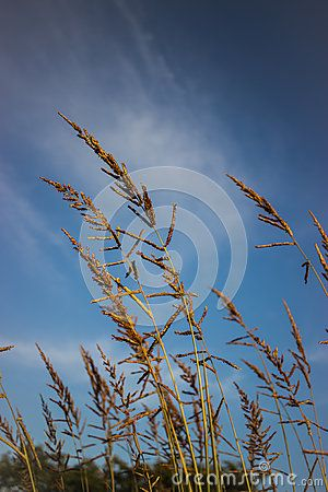 Foxtail weed wind sky clouds