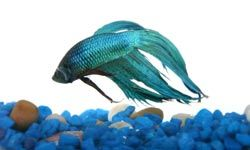 """HowStuffWorks """"How to Clean Fish Tank Gravel"""""""