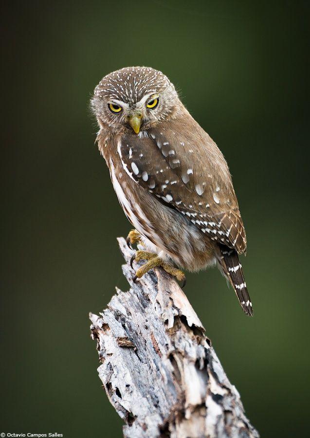 Title: Ferruginous Pygmy-Owl (Glaucidium Brasilianum). Photo by: Octavio Campos Salles. Board: Owls.