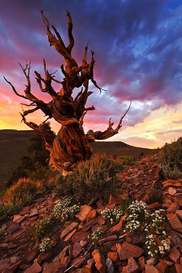 Ancient Bristlecone Pine, Sierra Nevada and White Mountains; Fun fact, some of these Pines live almost to 5, 000 years!