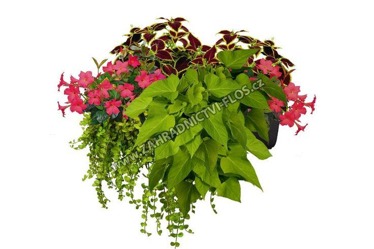 • 2x Pokojová kopřiva (Coleus) růžovočervený list • 2x Mandevilla (Mandevilla) sytě růžový květ • 1x Povíjnice (Ipomoea) žlutozelený list • 1x Vrbina (Lysimachia nummularia) žlutozelený list