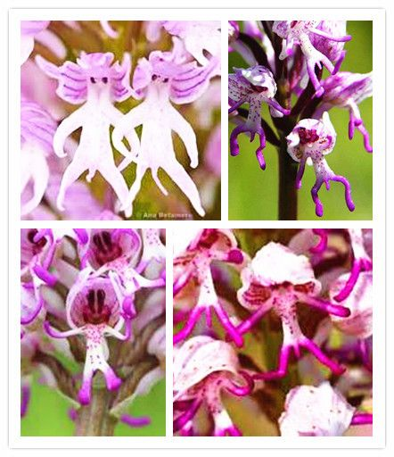 Flower pots planters 50 seed Monkey face orchids seeds man orchid Multiple varieties Bonsai plants Seeds for home & garden