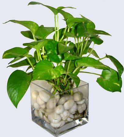 Water Money plant-Indoor plants, home plants, water plants