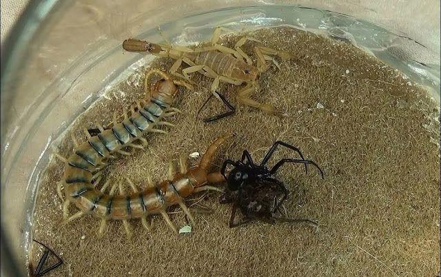 Black Widow Spider vs. Giant Centipede vs. Scorpion vs. Giant House Spider Battle Royal