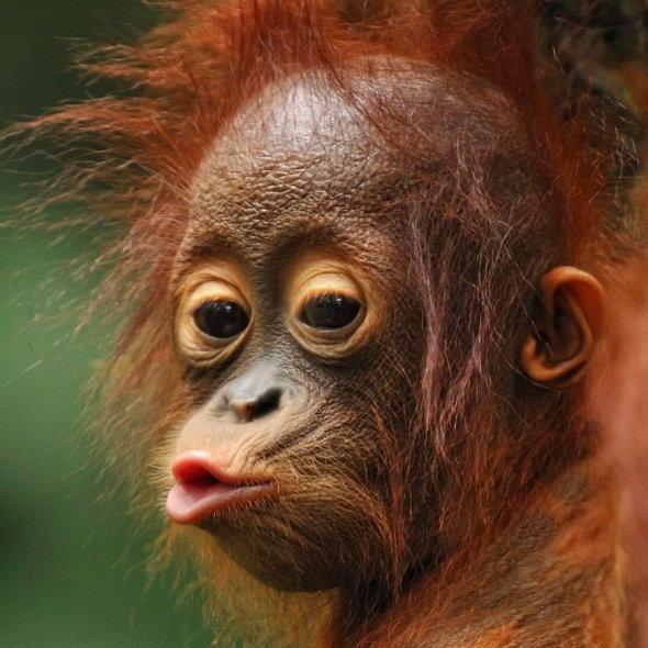 Orangutan....so darn cute! #uniquegolfvacations #borneoorangutan #travelideas