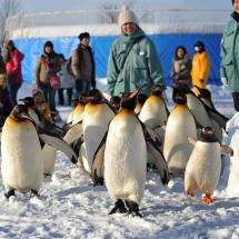 Penguins at Asahiyama zoo in Japan.