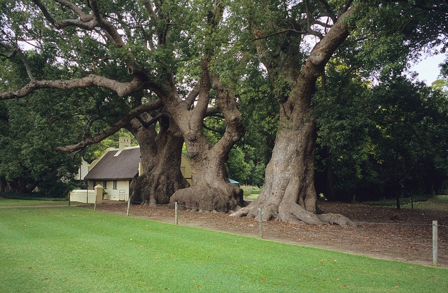 Camphor trees, Vergelegen, South Africa