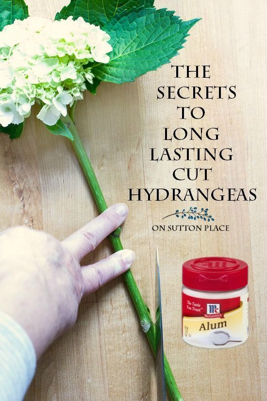 Learn the secrets to long lasting cut hydrangeas. Tips that will keep your hydrangeas from wilting. Hydrangea arrangement in pitcher.