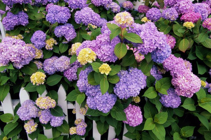Growing And Caring For Hydrangeas Floral Hydrangea Care Hydrangea Varieties Garden